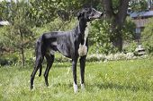 foto of greyhounds  - Hort greyhound on the grass in the Park - JPG