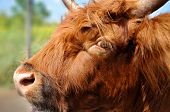 stock photo of highland-cattle  - Highland cattle are a Scottish breed of cattle with long horns and long wavy coats which are colored black - JPG