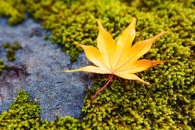 picture of irish moss  - Yellow maple leaves on moss - JPG