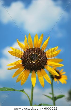 Single Sunflower In Full Bloom.