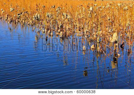 Dead lotus pond
