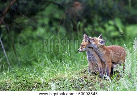 Young foxes in the clearing