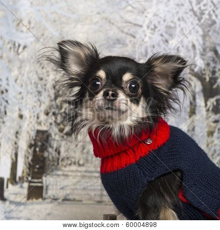 Close-up of a dressed-up Chihuahua in a winter scenery