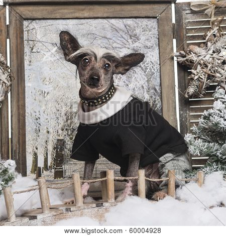 Dressed up Chinese crested dog in a winter scenery, 9 months old