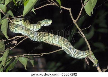 Deadly Pit Viper