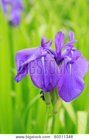 Group Of Purple Irises