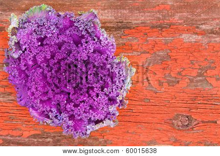 Curly-leaf Purple Kale On Rustic Grungy Wood