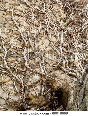 Tree Roots In Ancient Wall