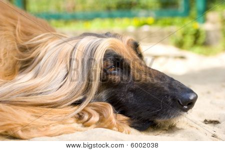Head close up of an Afghan Hound