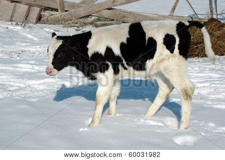 Young bull calf play outdoors
