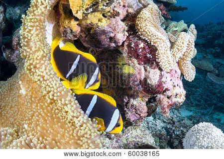 Two clownfishes find protection in their host sea anemone on a tropical reef in Fiji.