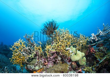 Dangerous fire coral lines a tropical reef in Fiji while a crinoid feeds on plankton suspended in the water column.