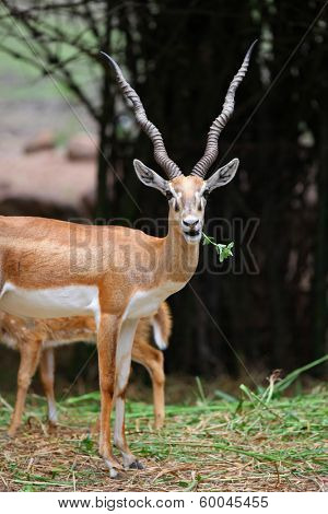 Black buck and spotted deers