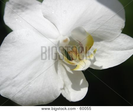 White Tropical Flower