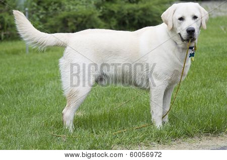 Rudy The Yellow Lab Puppy Wet Standing In Grass