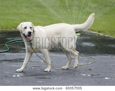 Rudy The Yellow Lab Puppy Wet By Sprinkler