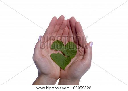 Heart Shaped Leaf Broken In Girls Hands