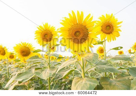 Sunflower In Sunflower Field