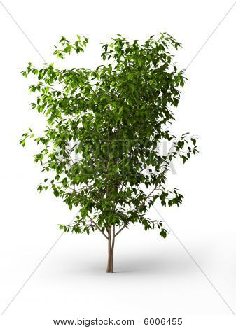 Ficus Benjamina.java Tree Isolated