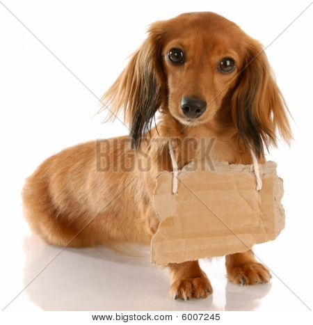 Dachshund With Cardboard Sign On Neck