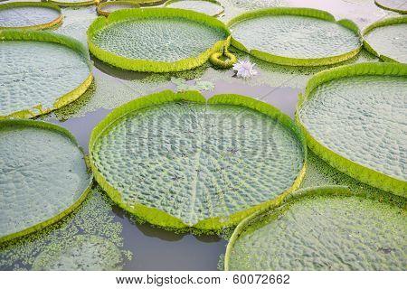 Huge floating lotus,Giant Amazon water lily,Victoria amazonia