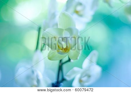 White orchid on blue green background