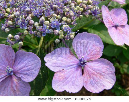 Blue Hydrangea Closeup