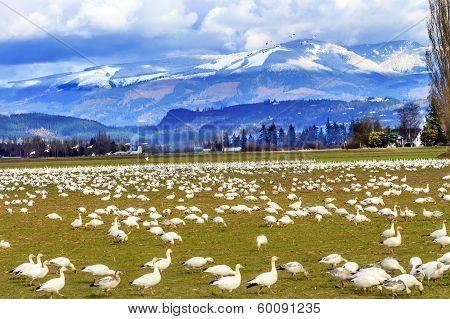 Snow Geese Mountains Skagit Valley Washington