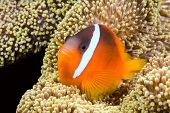 A beautiful orange clownfish rests in the protective tentacles of a sea anemone in the tropical sea