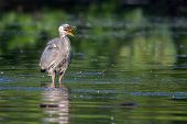 stock photo of bluegill  - Great Blue Heron eating a fish he just caught