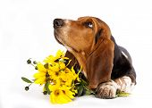 Basset Hound and yellow daisies