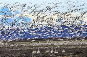 foto of snow goose  - Hundreds of Snow Geese Taking Off Flying In Response to Threat Trumpeter Swans Cygnus buccinator Watching Washington - JPG