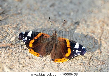 Red Admiral (Vanessa atalanta).Butterfly.