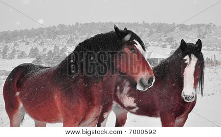 Snowy Clydesdales