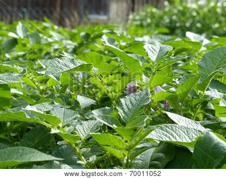 Potatoes Organic Garden