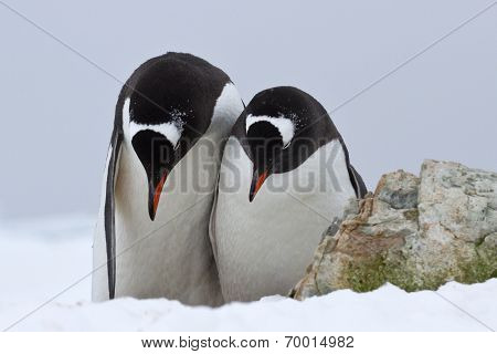 Male And Female Gentoo Penguins Which Stand Side By Side And Bowed Their Heads