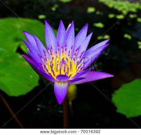 Purple Lotus,purple Waterlily..
