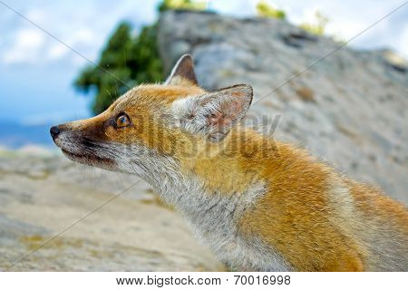 Red orange wild fox looking  close up