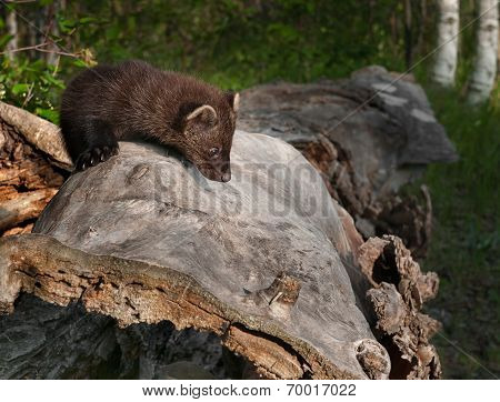 Young Fisher (martes Pennanti) Looks Down Side Of Log