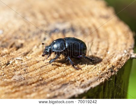 black beetle on a stub.Close up in a sunny day