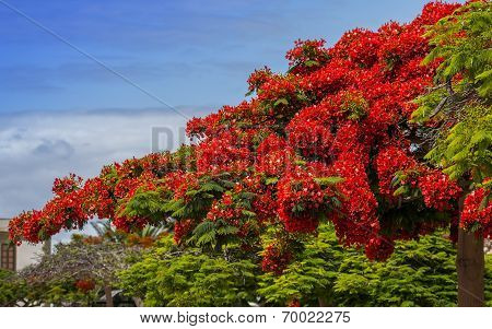 Magnificient flamboyant  tree