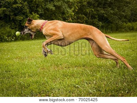 Great Dane with nose to ball