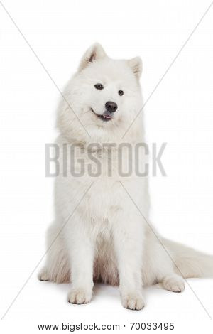 Studio Shot Of Samoyed Dog