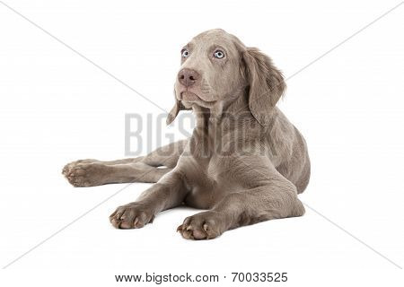 Weimaraner Puppy Over White