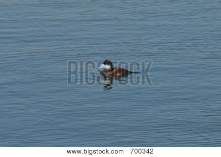 Ruddy Duck Blue Billed Duck