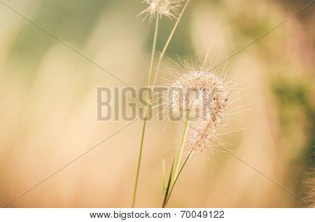 Dwarf Foxtail Grass Vintage