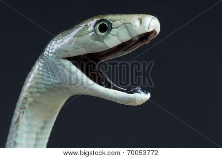 Attacking black mamba / dendroaspis polylepis