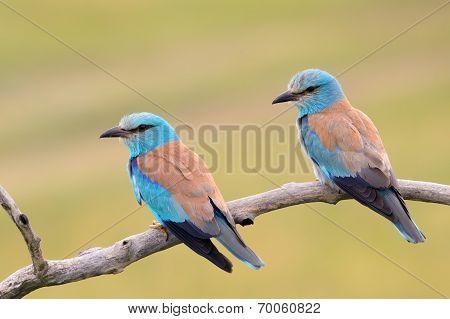 Eurasian Rollers (Coracius garrulus)