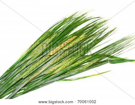 Ears Of Immature Green Wheat Isolated On White Background