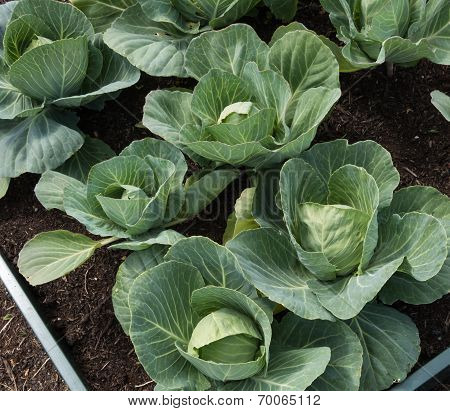 Organic Summer Cabbages Growing In A Raised Bed
